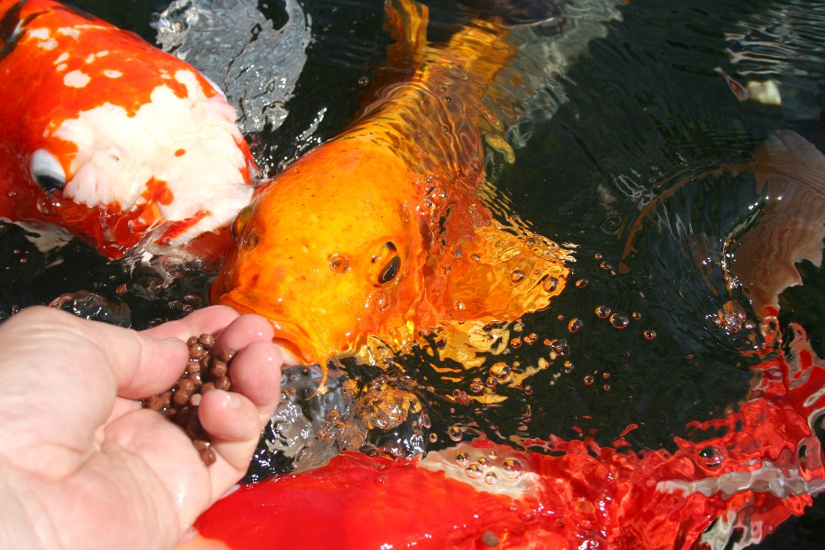 Show us your koi eating food for Can you eat koi fish