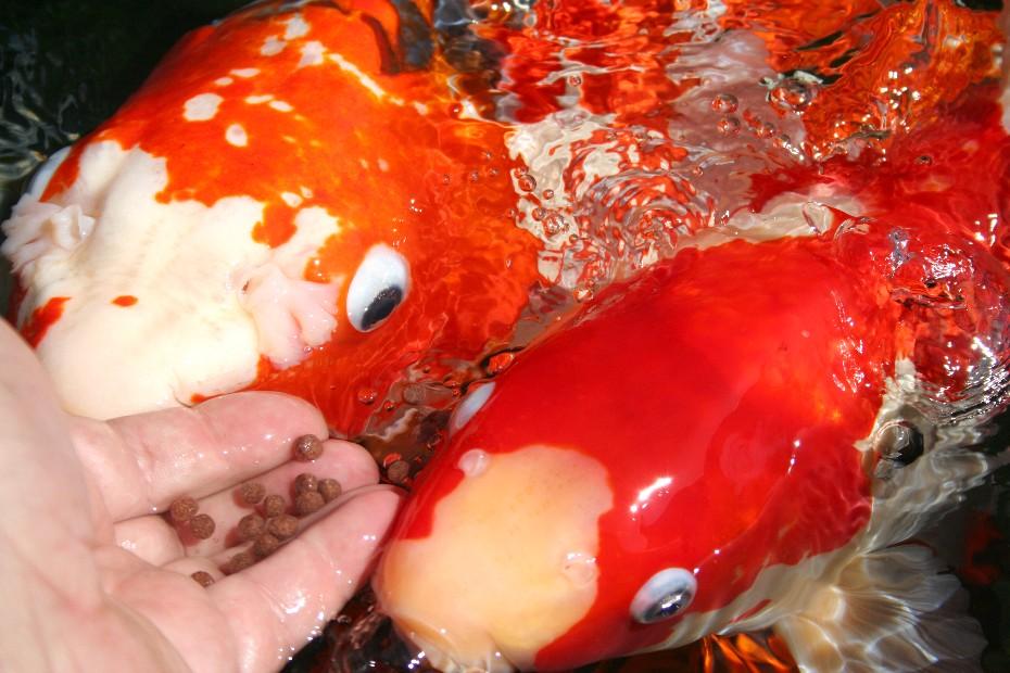 Can Koi Fish Eat Dog Food