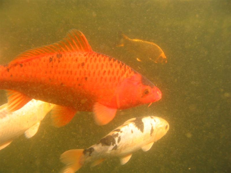 Koi growth rates for Koi growth rate