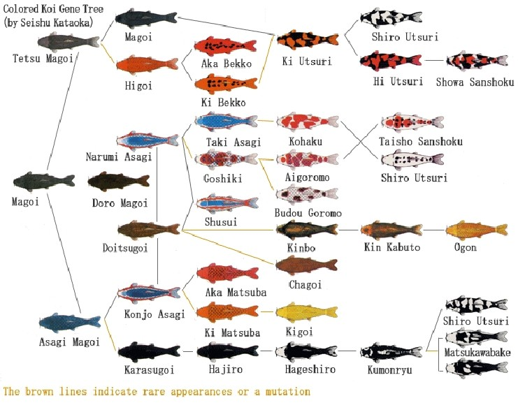 Beginner 39 s guide to home breeding koi for Japanese koi fish names