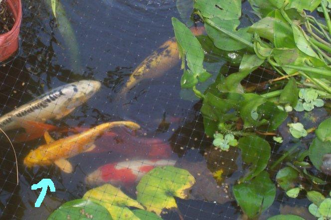 Walmart koi worth it for How much are koi fish worth