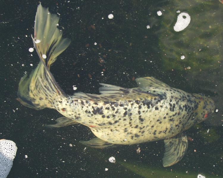 London shubunkins for Koi fish for sale nj