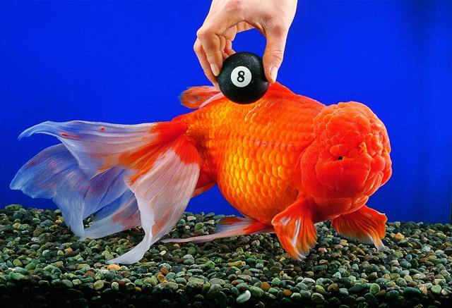Unreal fancy goldfish keep on main forum for Nourriture poisson rouge voile de chine