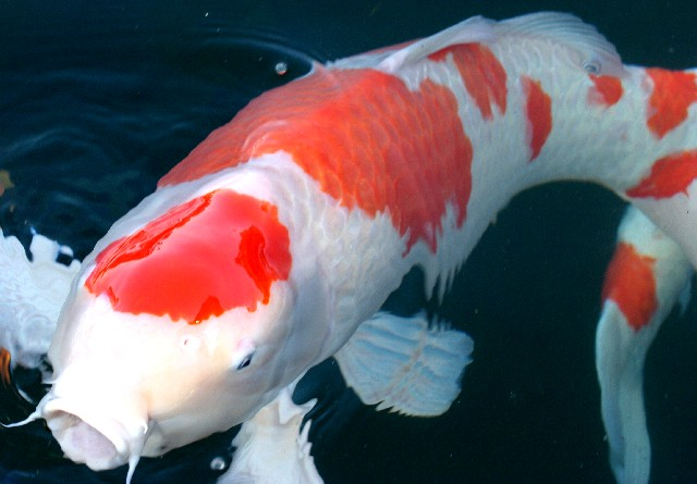 What is the most expensive fish you ever bought page 3 for Rare koi fish