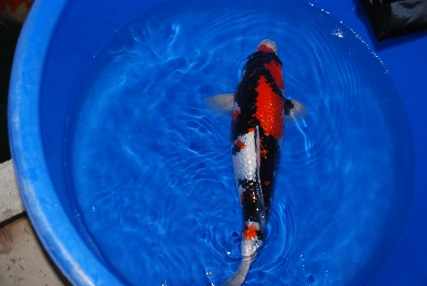 What is the most expensive fish you ever bought page 4 for Expensive koi fish