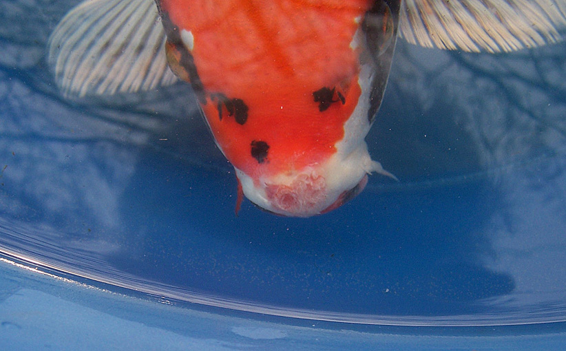 is this mouth rot On mouth rot fish