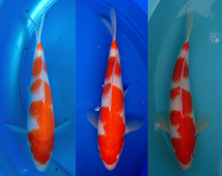 Choosing koi types based on your ponds water and qualities for Koi varieties