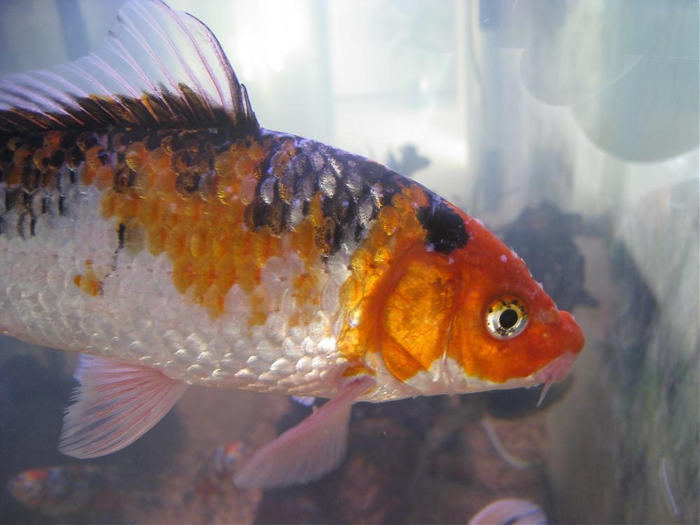 Koi sick then dies all goldfish ok for Fish disease ick