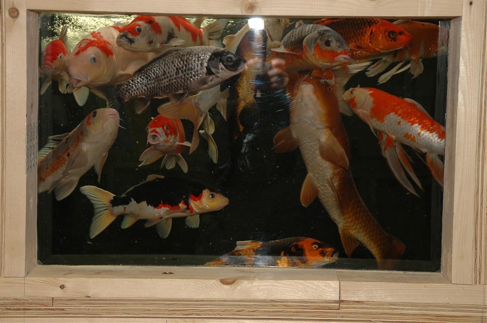 Indoor koi tanks 8 and 9 for Indoor koi aquarium