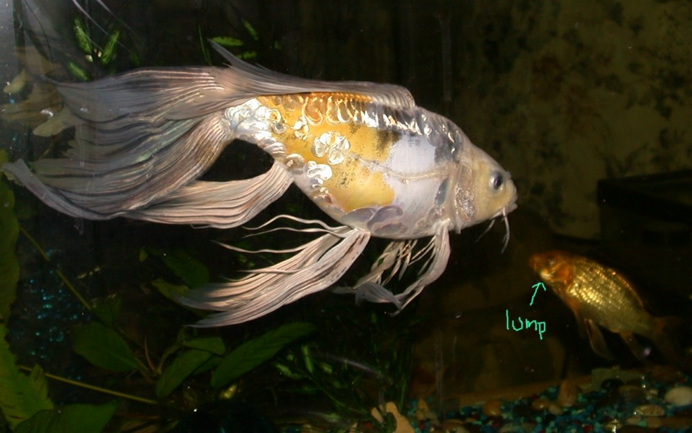 Extra fancy butterfly koi for Expensive koi fish
