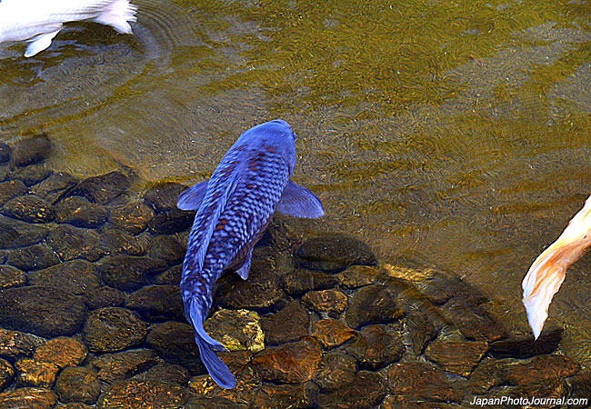 Where Are Your Blue Koi