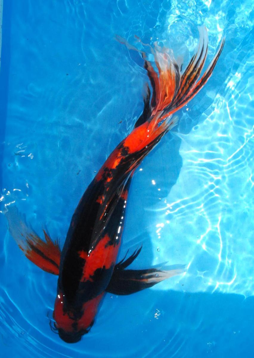 Butterfly koi for Female koi fish
