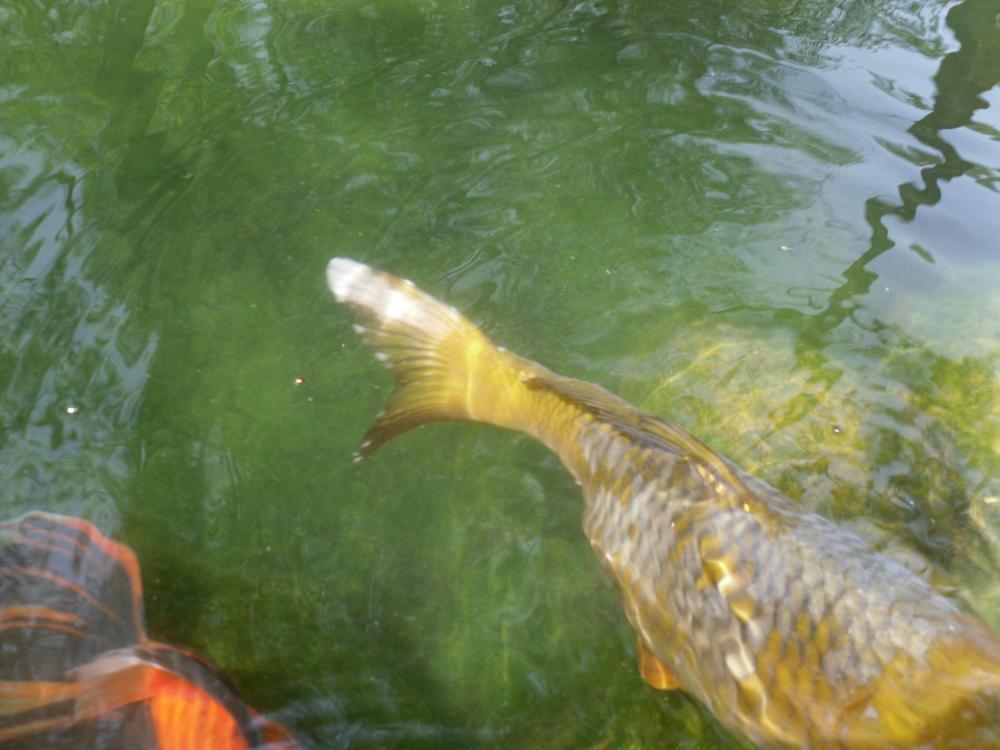 White tail fuzz on active eating koi for Koi fish tail