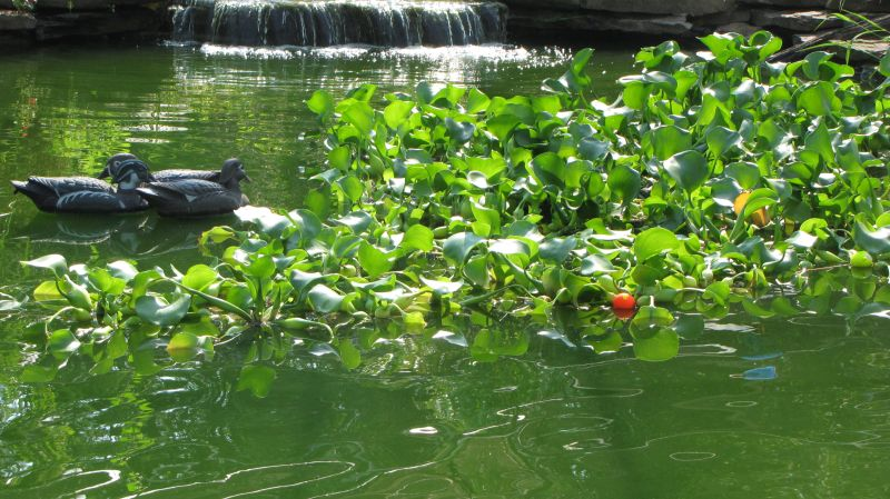 Why water hyacinth cant clear my pond for What kind of fish can i put in my pond