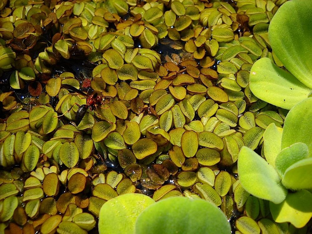 Favourite floating surface aquatic plant for Floating pond plants
