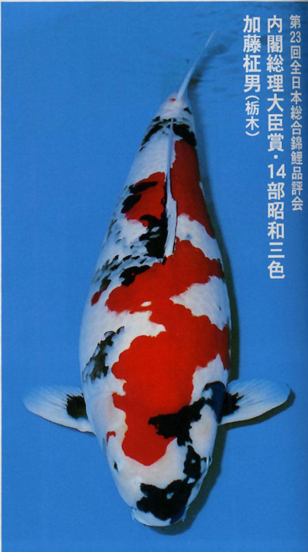Best bloodlines for oyagoi dainichi isa marudo momotaro for Koi pond forum
