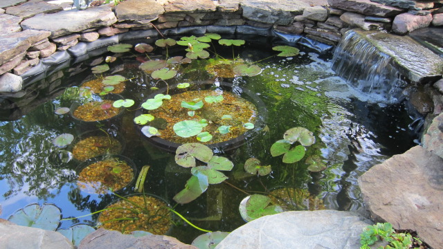 Lotus and salt for Koi pond forum