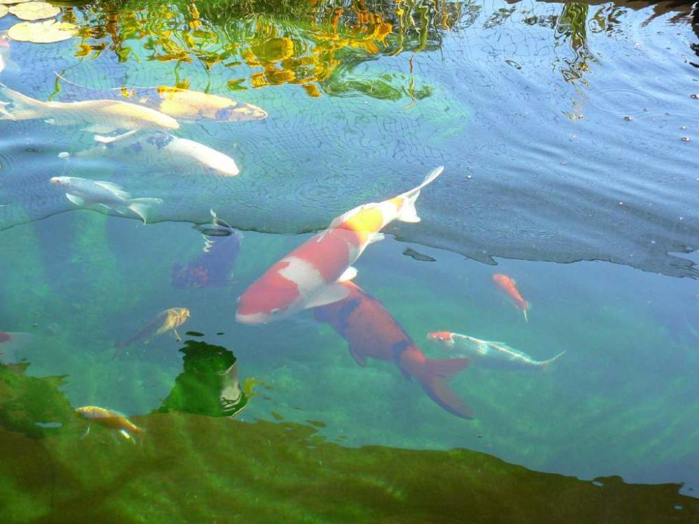 Our koi and ponds page 11 for Blue koi pond liner