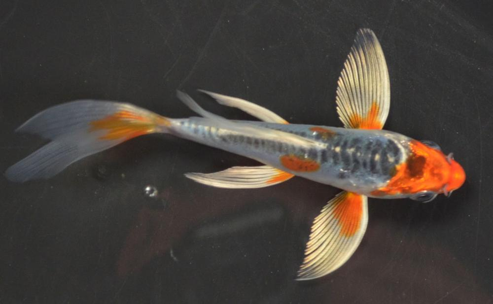 Longfin 39 s different fin types for Long fin koi