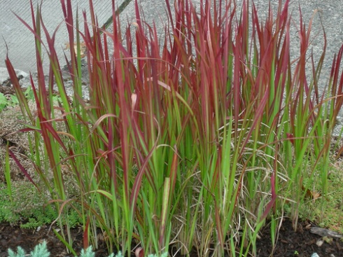 anyone have any japanese blood grass imperata cylindrica. Black Bedroom Furniture Sets. Home Design Ideas