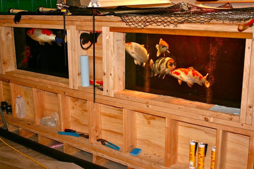 Why koi are not ideal for aquariums for Koi im aquarium