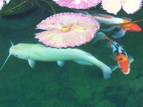 my albino catfish question