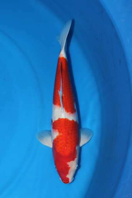 Amazing koi from purdin koi farm available for shipping for Koi pond builders tampa