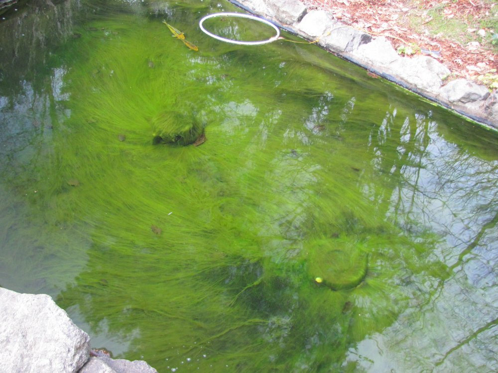 Life and times of string algae in my pond for Garden pond algae control