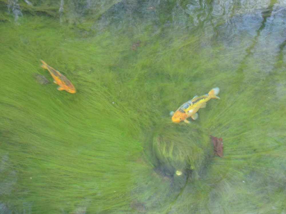 Life And Times Of String Algae In My Pond