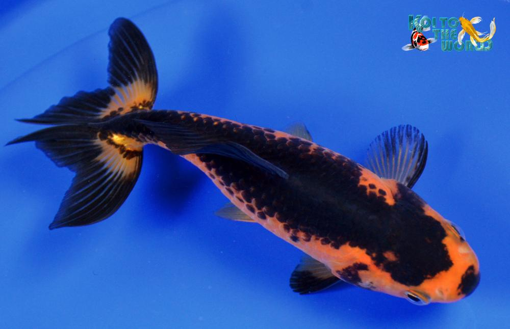 Ebay has several exotic goldfish now for sale for Koi breeders near me