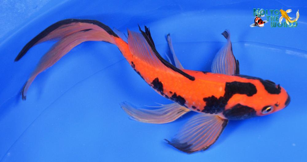 Goldfish mania and other exotics for Local koi fish for sale