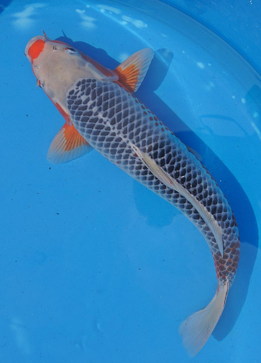 18 20 inch imported asagi from niigata bender koi oyagoi for Imported koi fish