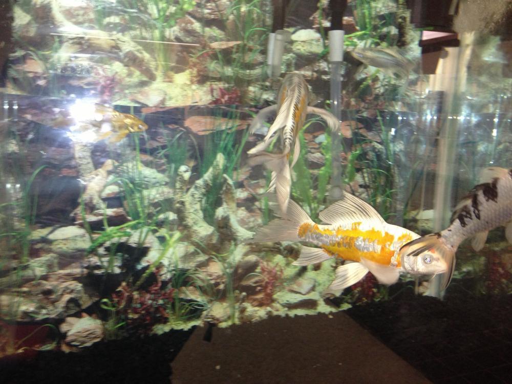 2 new koi added to the va aquarium for Koi im aquarium