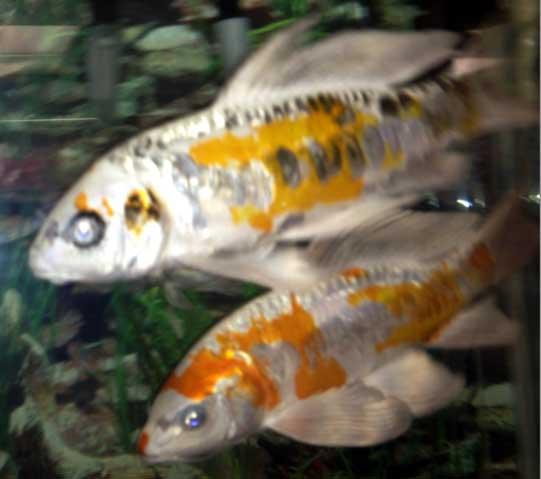 2 new koi added to the va aquarium for 10 gallon koi tank