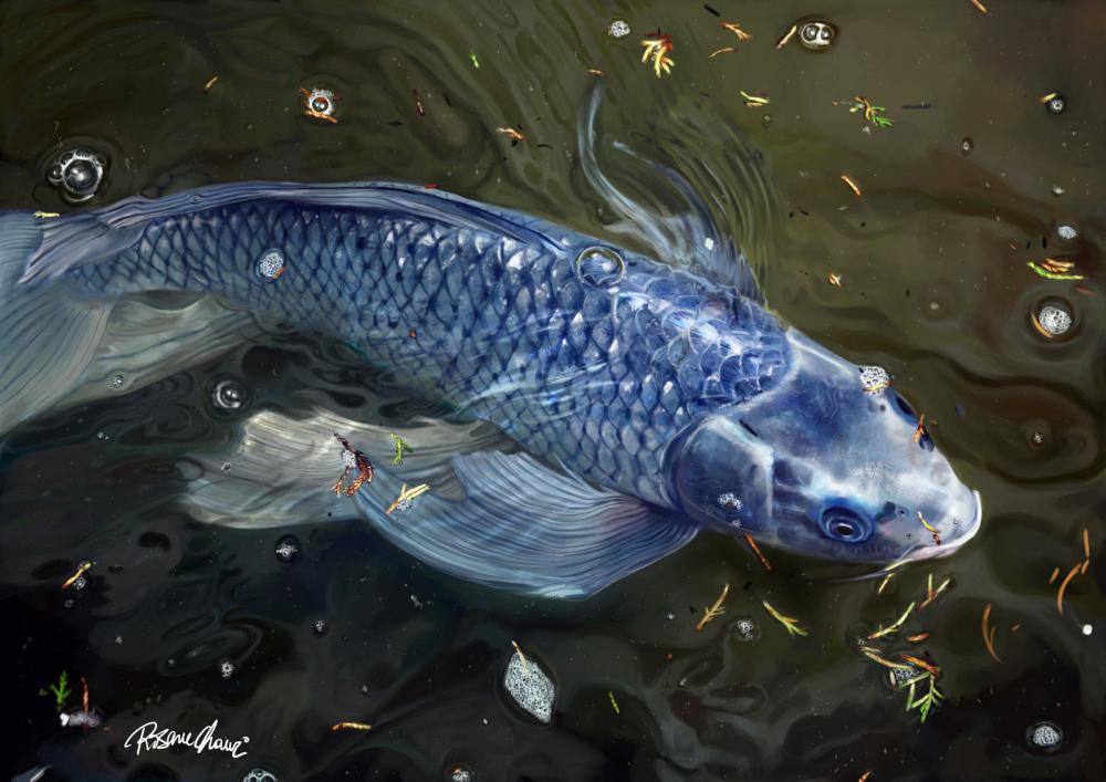 The hunt for the elusive true blue koi for Japanese fish names