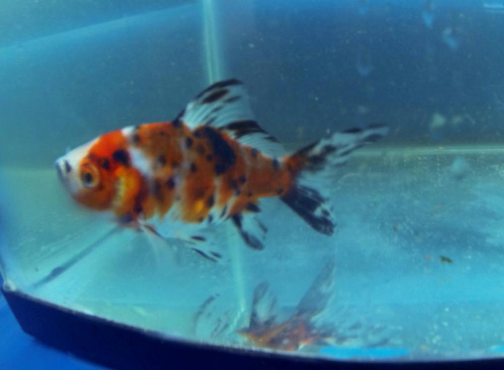 Shubunkin goldfish for sale for Outdoor goldfish for sale