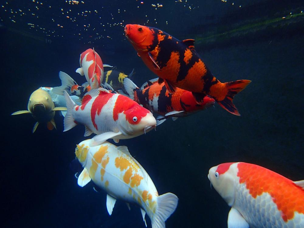 amazing koi photography