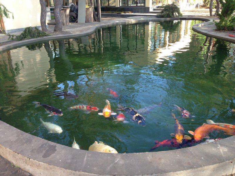 Ozone for koi ponds for Koi fish pond care in winter