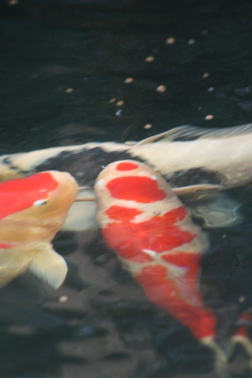 Our koi and ponds page 15 for Koi show pools