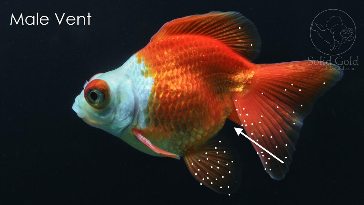 Goldfish With Pale Spots