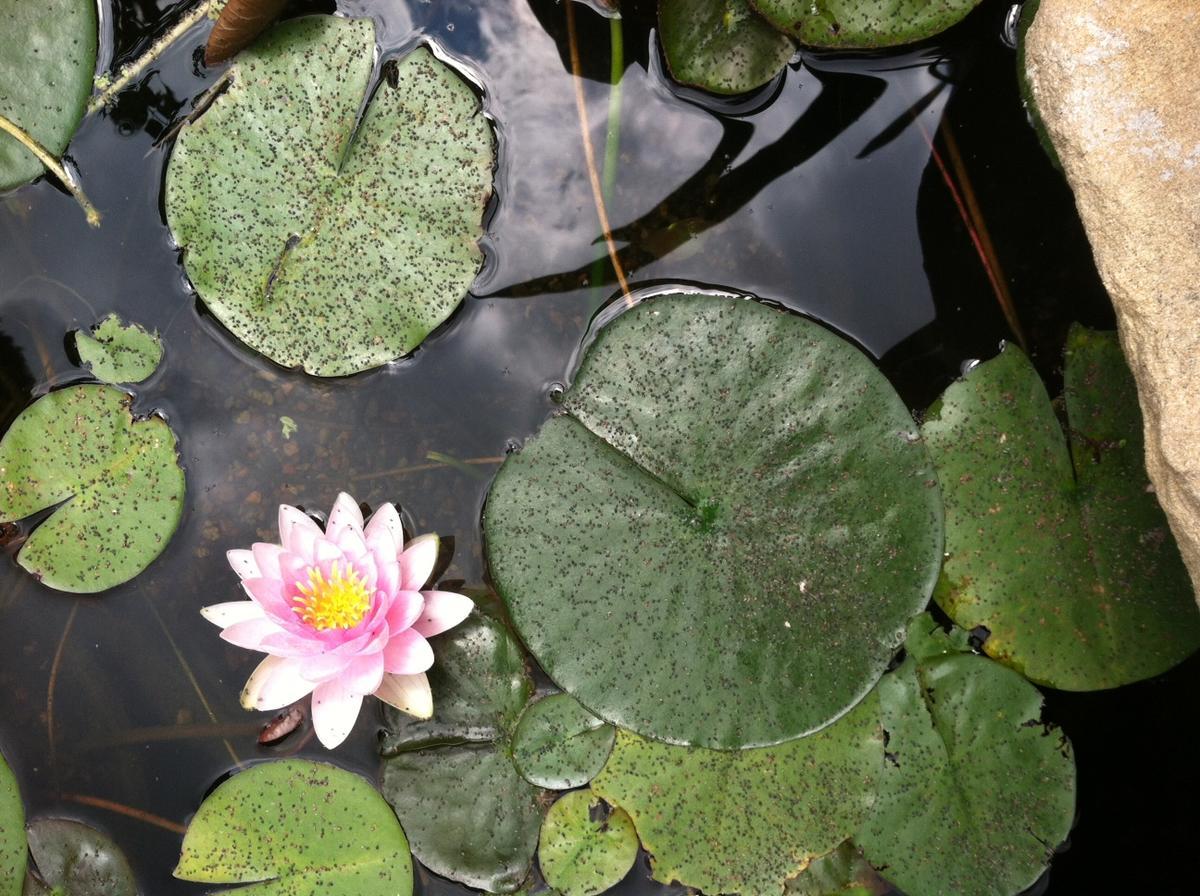 Small black dotseggs on lily pads izmirmasajfo