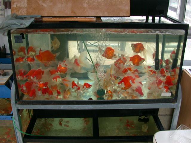 Goldfish in japan for Japanese ornamental fish
