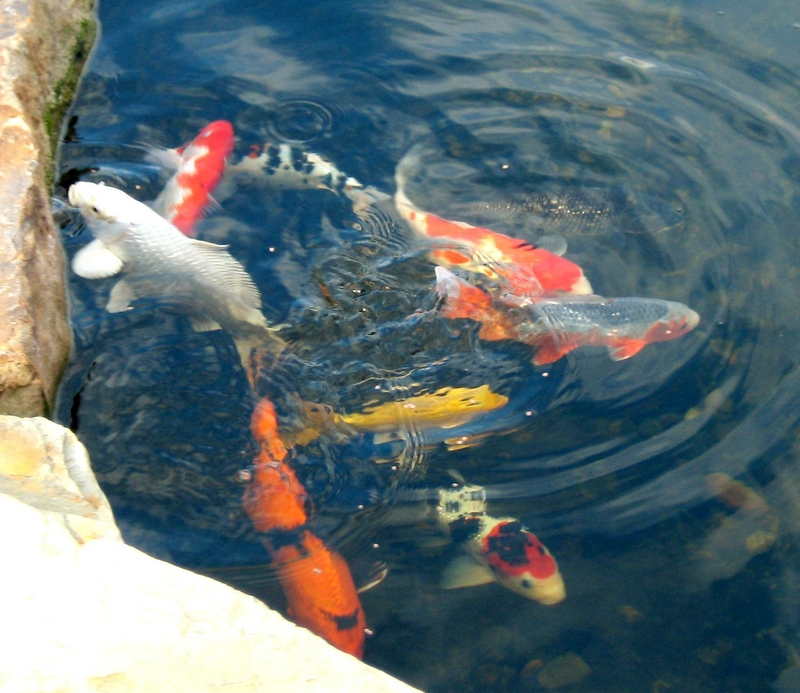 Pictures koi indoor pond for Indoor koi fish pond