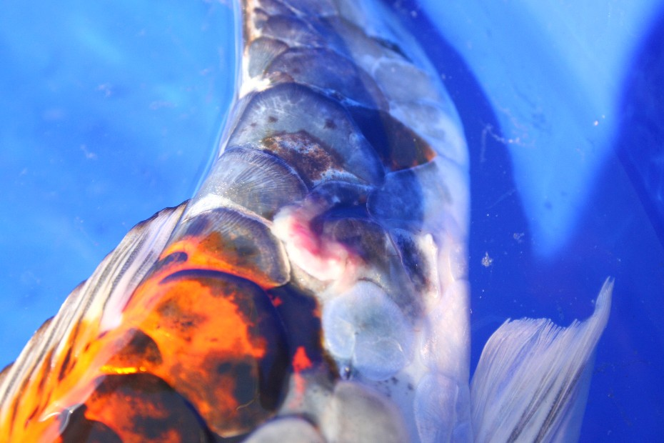 Saltwater fish with scales lowcountry fish scales sc for Koi fish scales