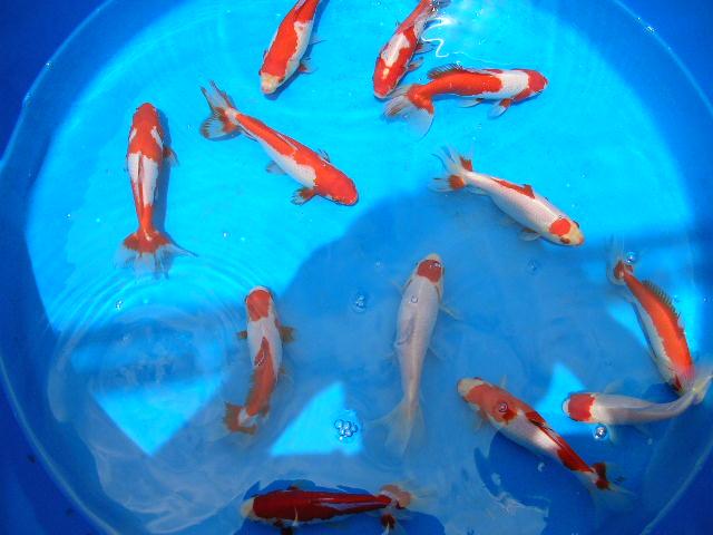 Koi vs goldfish for Koi vs goldfish