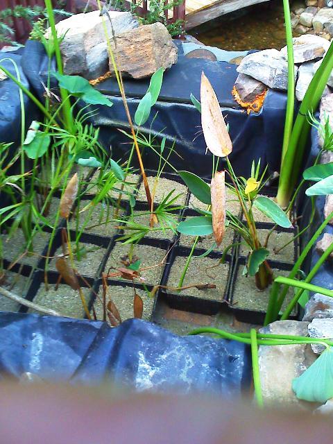 Name:  bog filter planting.jpg Views: 1200 Size:  77.4 KB
