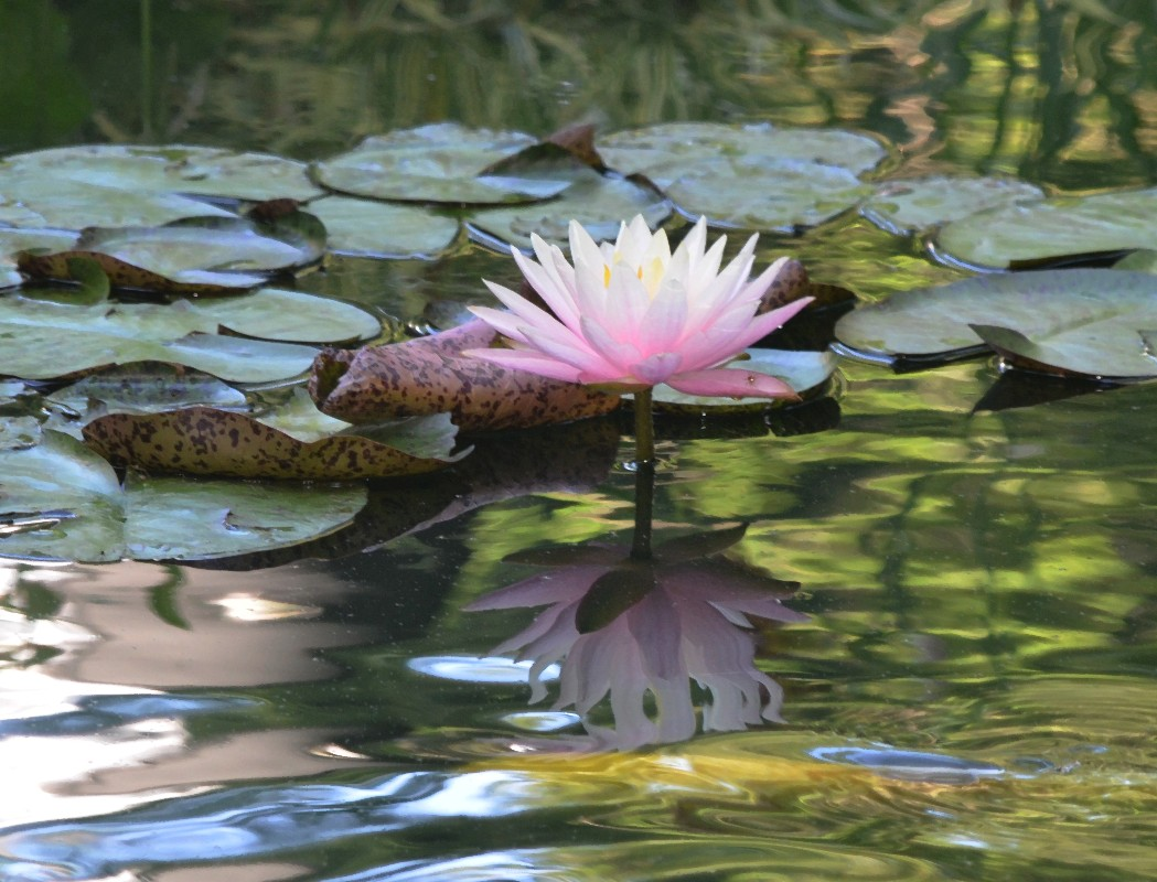 Name:  Waterlily 1.jpg Views: 171 Size:  234.3 KB