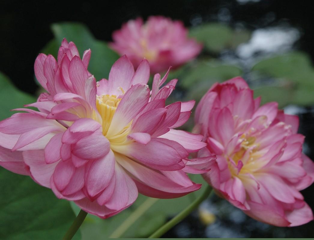 Name:  1000 Petal Pink.jpg Views: 171 Size:  165.6 KB