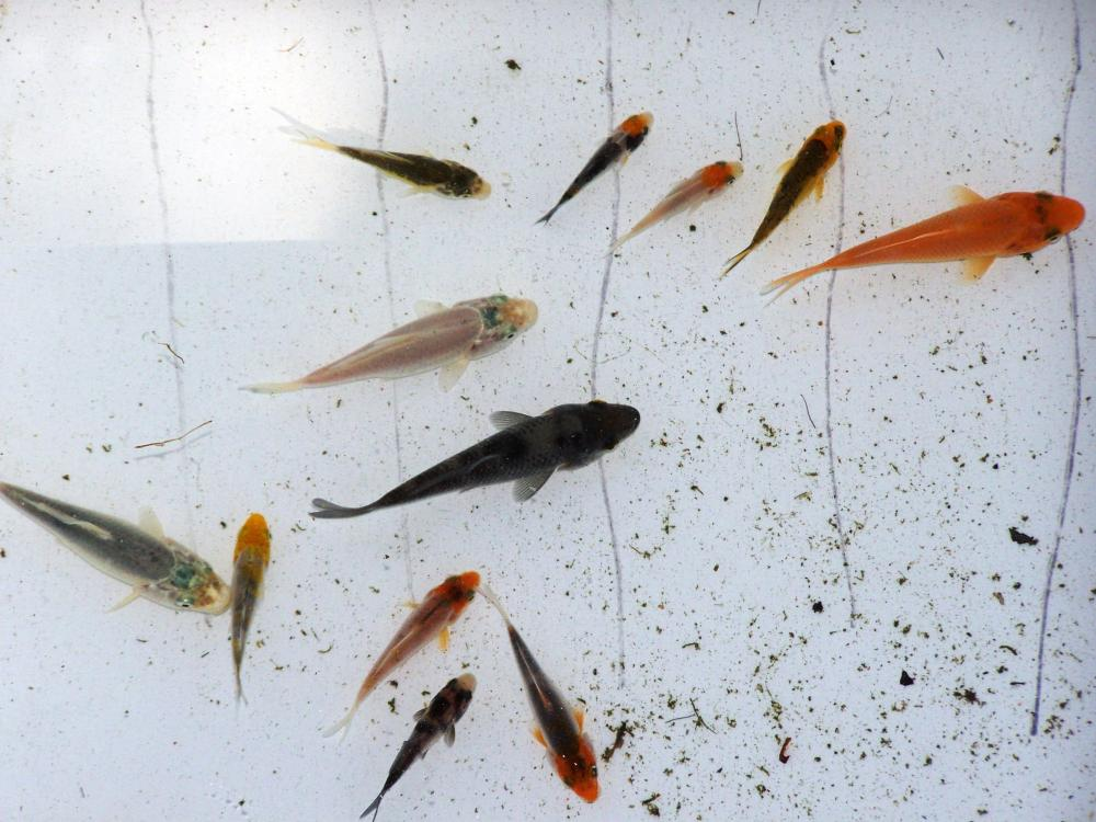 Few questions about baby koi for Baby koi fish