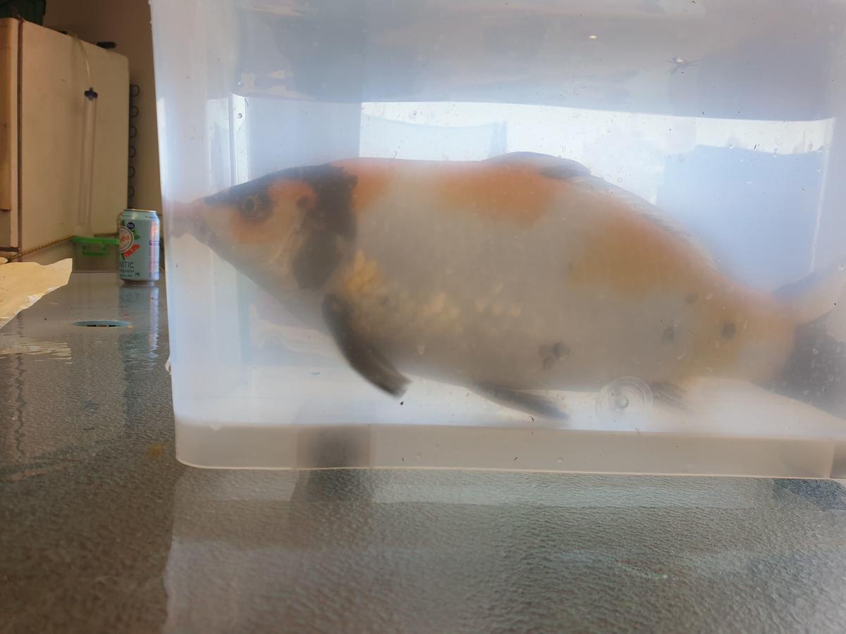 Name:  koi fish1.jpg Views: 57 Size:  70.1 KB